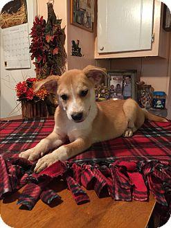 Australian Shepherd/Labrador Retriever Mix Puppy for adoption in Kittery, Maine - Landry