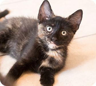 Domestic Shorthair Kitten for adoption in Chicago, Illinois - Cherub