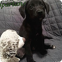 Dachshund Mix Puppy for adoption in Alpharetta, Georgia - Spartans