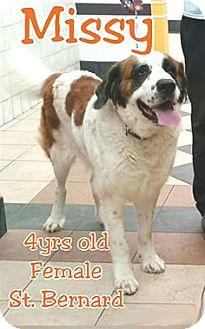 St. Bernard Dog for adoption in Austin, Texas - Missy
