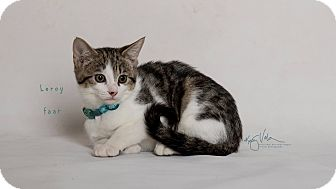 Domestic Shorthair Kitten for adoption in Riverside, California - Leroy