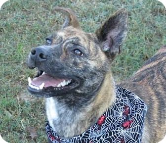 Feist Mix Dog for adoption in kennebunkport, Maine - Zula - PENDING - in Maine