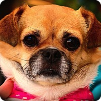 Adopt A Pet :: Gizzy - Fairfax Station, VA