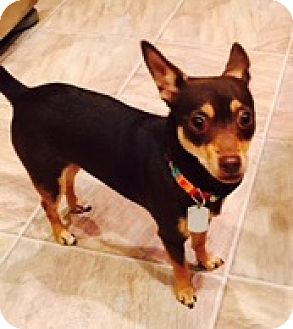 Chihuahua/Miniature Pinscher Mix Dog for adoption in Beavercreek, Ohio - Daisy