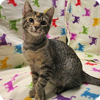 American Shorthair Cat for adoption in Fayetteville, Tennessee - 16-c09-005 Pepper