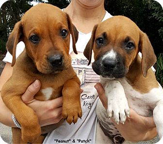 Hound (Unknown Type) Mix Puppy for adoption in Key Largo, Florida - Peanut & Patch