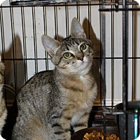 Adopt A Pet :: Lynx - Virginia Beach, VA