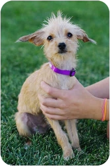 chinese crested terrier dinky adopted puppy westminster co chinese crested 9247