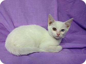 Domestic Shorthair Kitten for adoption in Orlando, Florida - Brittany