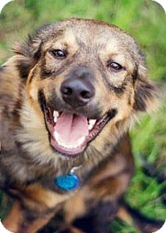 Australian Shepherd/German Shepherd Dog Mix Dog for adoption in San Antonio, Texas - Odie