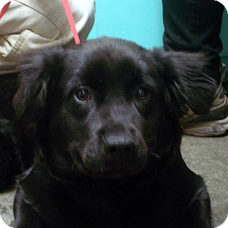 Springer Spaniel Mix Puppy for adoption in baltimore, Maryland - Moe