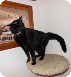 Bombay Cat for adoption in Mission Viejo, California - Dede