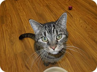 Domestic Shorthair Cat for adoption in Medina, Ohio - Tigger