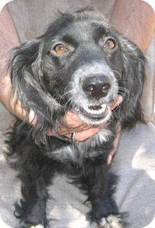 Cocker Spaniel/Dachshund Mix Dog for adoption in Phoenix, Arizona - Sweet Pea