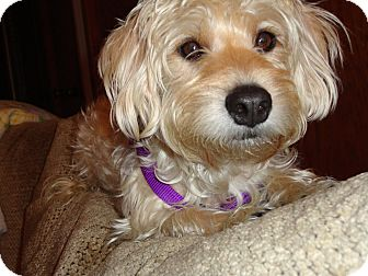 Lhasa Apso/Silky Terrier Mix Dog for adoption in Gig Harbor, Washington - Jewels