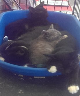 American Shorthair Cat for adoption in Medford, New York - Black