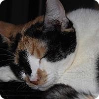 Domestic Shorthair Cat for adoption in Mesa, Arizona - Olivia