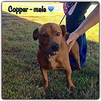 Adopt A Pet :: Copper - Harmony, Glocester, RI