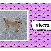 Chihuahua Mix Dog for adoption in Graford, Texas - Sierra