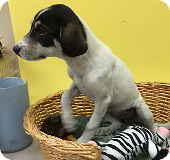 Hound (Unknown Type) Mix Dog for adoption in Decatur, Alabama - Sadie Bell