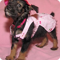 Adopt A Pet :: Raven Puppy - Encino, CA