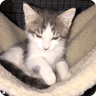 Domestic Shorthair Cat for adoption in La Canada Flintridge, California - Star