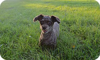Miniature Poodle Dog for adoption in Lebanon, Tennessee - Teddy