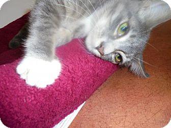 Domestic Mediumhair Kitten for adoption in Livonia, Michigan - Obi Wan