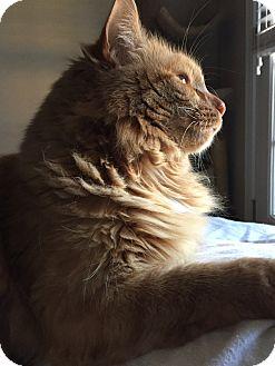 Maine Coon Cat for adoption in Greensboro, North Carolina - Mr. Moe
