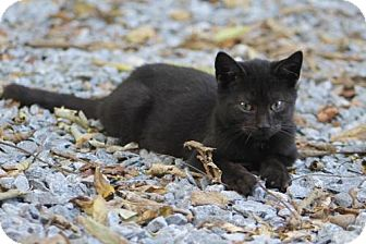 Domestic Shorthair Kitten for adoption in Morehead, Kentucky - Portia YOUNG FEMALE
