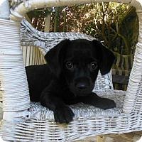 Terrier (Unknown Type, Medium)/Dachshund Mix Puppy for adoption in Newnan, Georgia - Bogey