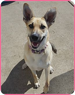 Shepherd (Unknown Type) Mix Dog for adoption in Elburn, Illinois - Lady