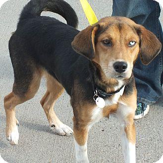 Australian Shepherd/Shepherd (Unknown Type) Mix Dog for adoption in Minneapolis, Minnesota - Sasha