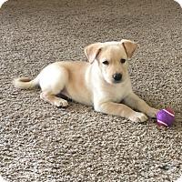 Adopt A Pet :: Baylor - Mesquite, TX