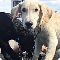 Labrador Retriever Mix Dog for adoption in Broken Arrow, Oklahoma - Mr. White