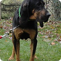 Bloodhound/Black and Tan Coonhound Mix Dog for adoption in Dunmore, West Virginia - Arthur