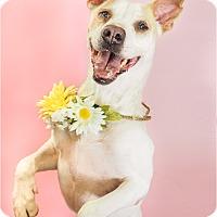 Adopt A Pet :: Lindsay - Phoenix, AZ