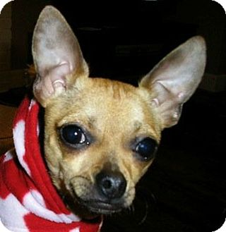 Chihuahua Dog for adoption in Somers, Connecticut - Brownie