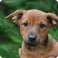 Adopt A Pet :: baby Huey - Marlton, NJ
