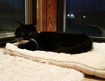 Domestic Mediumhair Cat for adoption in Jefferson, Ohio - Rythum