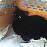 Adopt A Pet :: Kole (Vince's Cat) - Medford, NJ