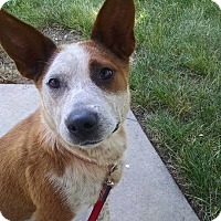 Adopt A Pet :: Angel - Lebanon, CT