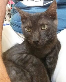 Domestic Shorthair Cat for adoption in Fort Pierce, Florida - CHARLEY