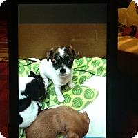 Adopt A Pet :: Lil Angel - springtown, TX