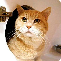 Domestic Shorthair Cat for adoption in THORNHILL, Ontario - Biscuit