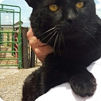 Adopt A Pet :: Big Tom - Spanish Fork, UT