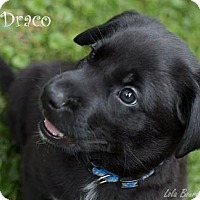 Adopt A Pet :: Draco is Reserved - Kirkland, QC