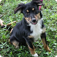 Adopt A Pet :: Basil (Dols) - Hagerstown, MD