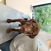 Adopt A Pet :: Guy - Houston, TX