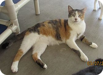 Calico Cat for adoption in Jackson, Missouri - Luvs